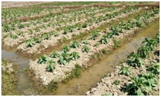 Raised_and_sunken_bed_cultivation_of_vegetables